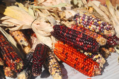 Fall Indian Corn Royalty Free Stock Photography