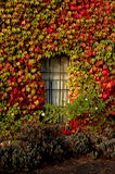 Fall Ivy on Side of Building. A wall of ivy shows the affects of fall as it changes color Stock Photos