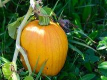 Fall-Kürbis im Garten Lizenzfreies Stockfoto