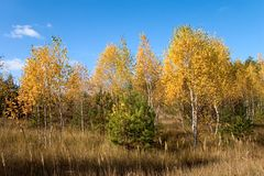 Fall landscape. With yellow birch and green pine tree Stock Image