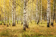 Fall Landscape: Birch Forest with Golden Foliage at Sunny Day. In September stock photos