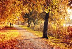 Fall picturesque landscape. Fall trees with fall leaves in sunny weather. Fall landscape. Fall trees along the alley in sunny weather Royalty Free Stock Image
