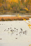Fall landscape with flying gooses Royalty Free Stock Photos