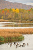 Fall landscape with flying gooses 2 Stock Photography
