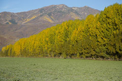 Fall landscape with huge poplar trees and mountains Stock Images