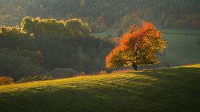 Fall landscape. Fall in Slovakia. Meadows and fields landscape with cherry tree near Banska Bystrica. Autumn color trees at sunset royalty free stock images