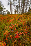 Fall in Lapland forest, blueberry on foreground. Finland Stock Photo