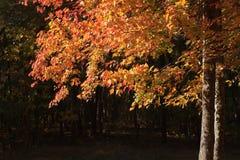 Fall-Laub Stockbilder