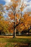 Fall-Laub auf einem Ahornholz-Baum am indischen Sommer stockfotos