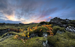 Fall. Lava landscape cover of moss with autumn colors on small plants Royalty Free Stock Image