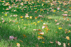 Fall lawn, green grass texture Royalty Free Stock Image