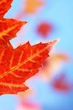 Fall leaf. Backlit autumn maple leaf on colorful background stock photos