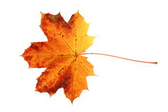 Fall leaf Stock Photos