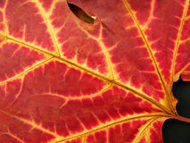 Fall leaf. Autumn leaf in vibrant tones of red and yellow on black background stock photo
