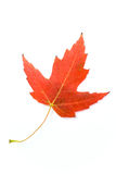Fall leaf. Autumn red maple leaf isolated on white royalty free stock photography