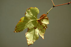 Fall leaf. Close up of a faded old almost dead vine leaf in fall isolated on grey background Stock Image