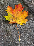 Fall leaf. Dry leaf with amazing fall colors on a grey stone Stock Image
