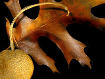 Fall Leaf. Colorful fall leaf and acorn Royalty Free Stock Photo