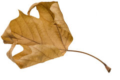 Fall leaf. On white background Stock Photos