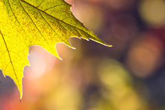 Fall leaf Royalty Free Stock Image
