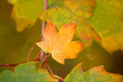 Fall leaf. Close-up Stock Images