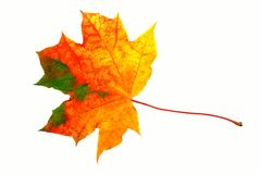 Fall leaf. Isolated on white stock images