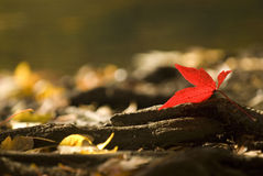 Fall Leaf. A single bright red leaf at waters edge on a brisk fall morning Royalty Free Stock Photography