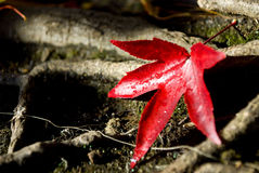 Fall Leaf. A single bright red leaf at waters edge on a brisk fall morning Royalty Free Stock Photos