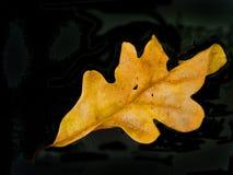 Fall leaf. On black background stock photo