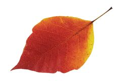 Fall leaf. A macro picture of an orange and yellow fall leaf Stock Photography