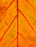 Fall leaf. Detail of textured fall leaf close-up stock photo