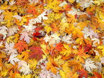 Fall Leaf Background Royalty Free Stock Image