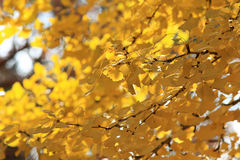 Fall leaf background. Yellow autumn Fall leaf background Royalty Free Stock Photos