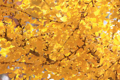 Fall leaf background. Yellow autumn Fall leaf background Stock Images