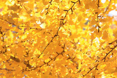 Fall leaf background. Yellow autumn Fall leaf background Royalty Free Stock Photography