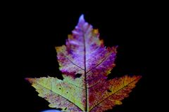 Fall leaf. With beautiful Color Royalty Free Stock Photography