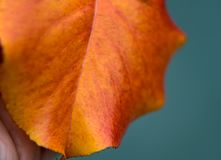 Fall leaf being held by a hand. Stock Photo