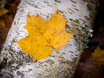 Fall leaf on birch Stock Images
