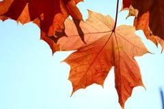 Fall leaf and blue sky Stock Photos