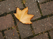 Fall leaf on brick walkway Stock Images
