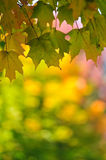 Fall Leaf Change Maple Foliage Background. Fall Leaf Change Maple Foliage in Autumn Background with Space for Text Royalty Free Stock Image