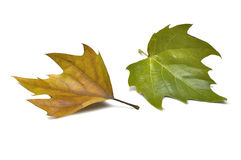 Fall leaf (clipping path). Fall leaf on white background Stock Photos