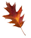 Fall leaf with clipping path Stock Photos
