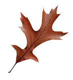 Fall leaf with clipping path Stock Image