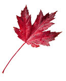 Fall leaf with clipping path Stock Images