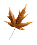 Fall leaf with clipping path Royalty Free Stock Photography