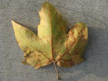 Fall leaf. Close up of a yellow to brown leaf on a cement background Stock Images