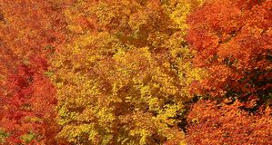 Fall leaf color in Ontario on a sunny day. Closeup Maple leaves in vibrant autumn colors stock photos