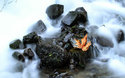 A Fall Leaf in a Creek Royalty Free Stock Image