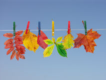 Fall leaf drying Royalty Free Stock Images
